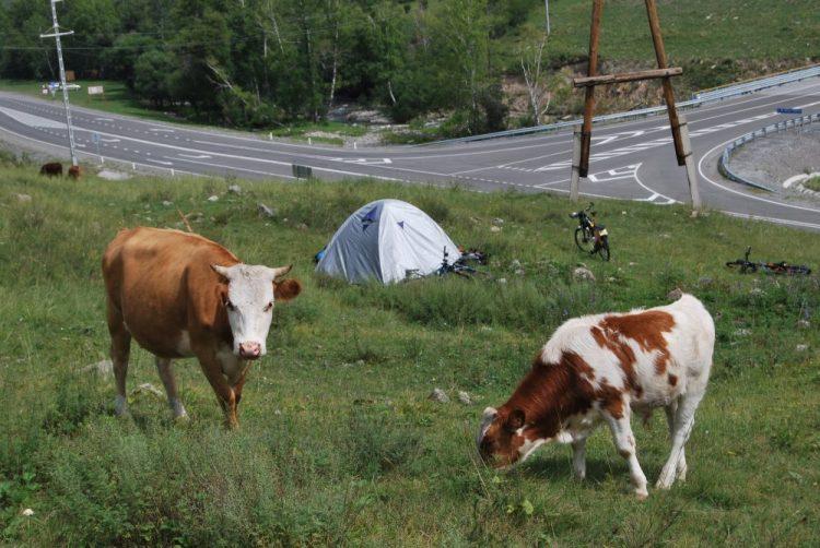 Коровы пасутся у палатки