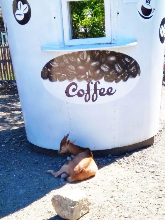 Коза сторожит кофе